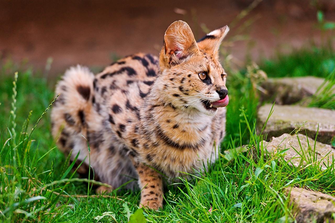 壁紙 飼い猫 ヒョウ亜科 サーバル 草 動物のスナウト 動物