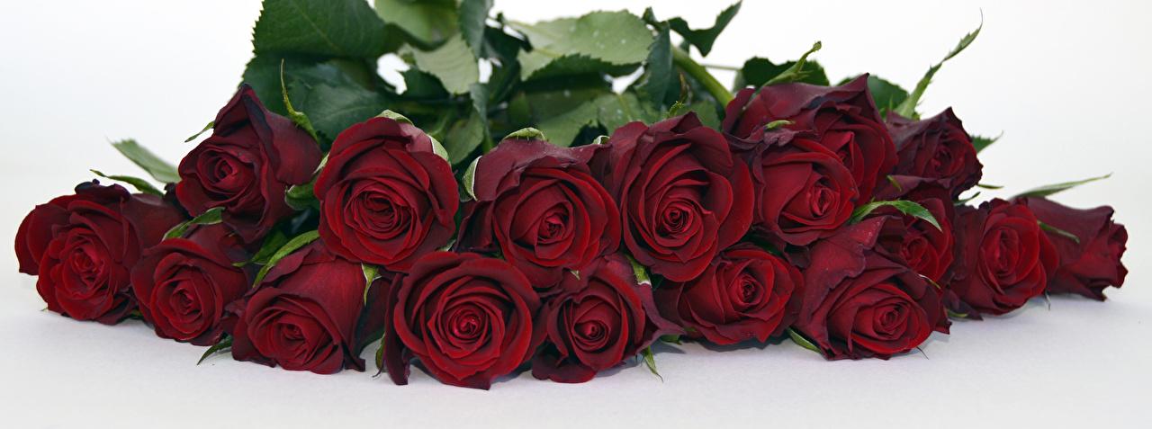 Desktop Wallpapers rose dark red flower Closeup White background Roses maroon burgundy Wine color Flowers