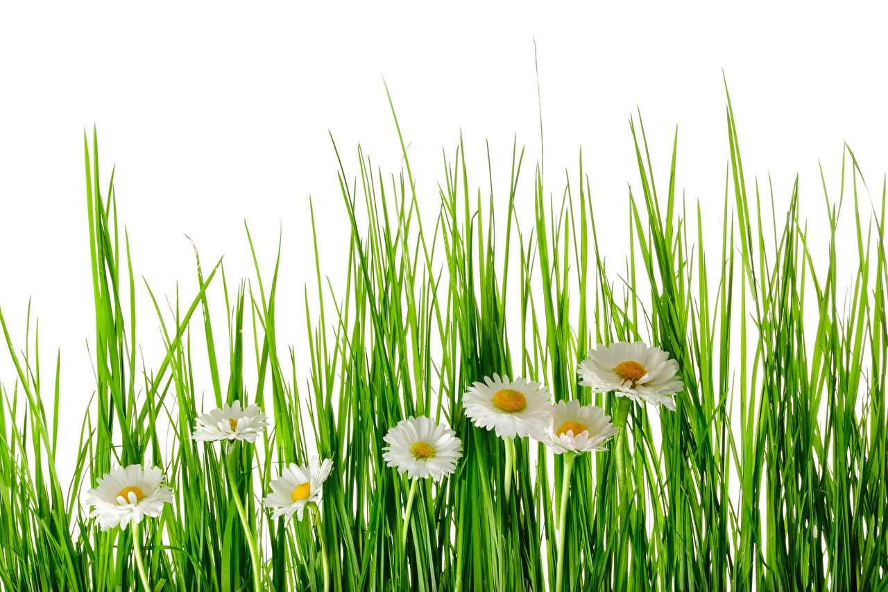 Pictures Flowers Camomiles Grass White background flower matricaria