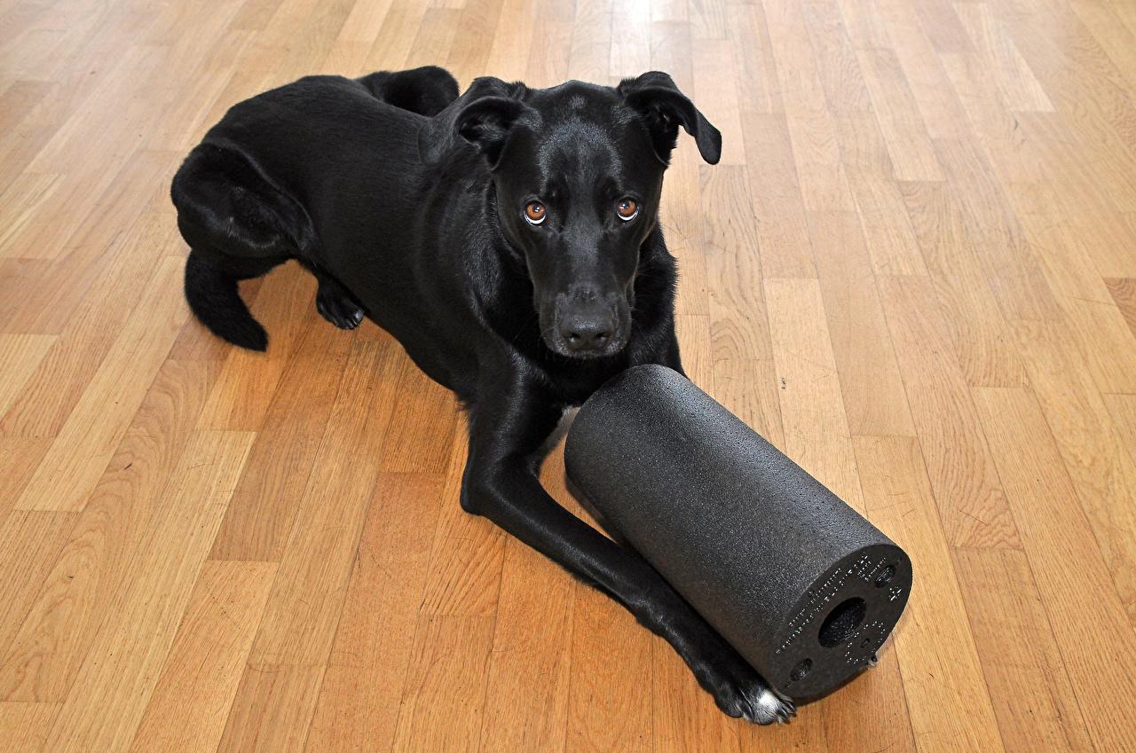 Image Labrador Retriever dog Black Animals Dogs animal