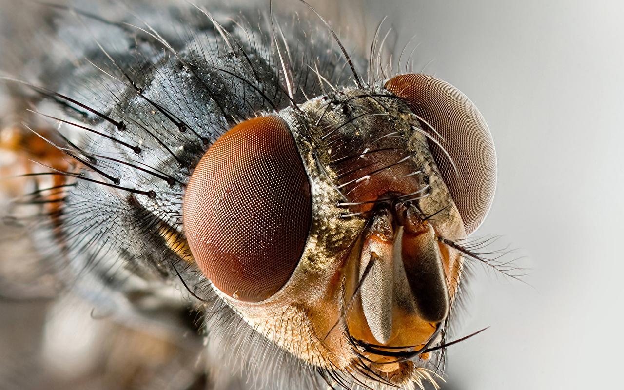 Afbeeldingen Vliegen Insecten Ogen een dier van dichtbij vlieg Dieren Close-up