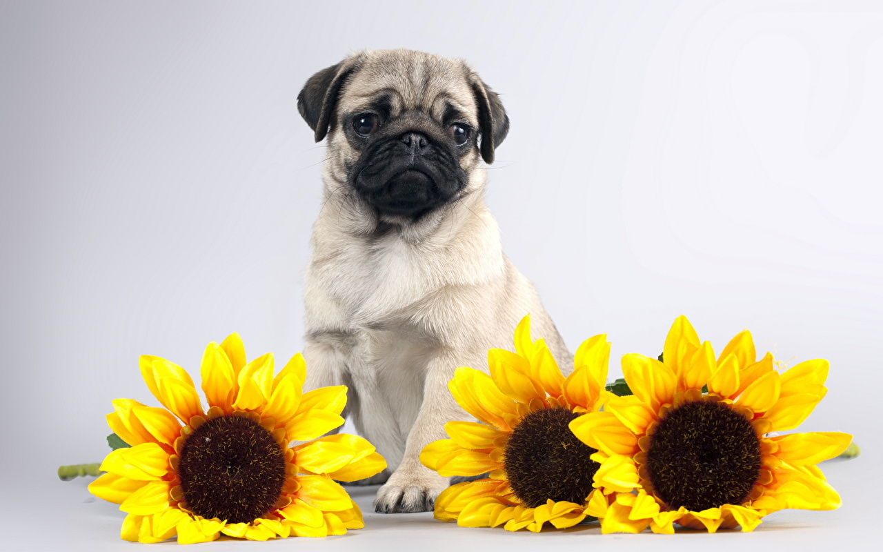 Pictures Pug dog Helianthus Animals Dogs Sunflowers animal