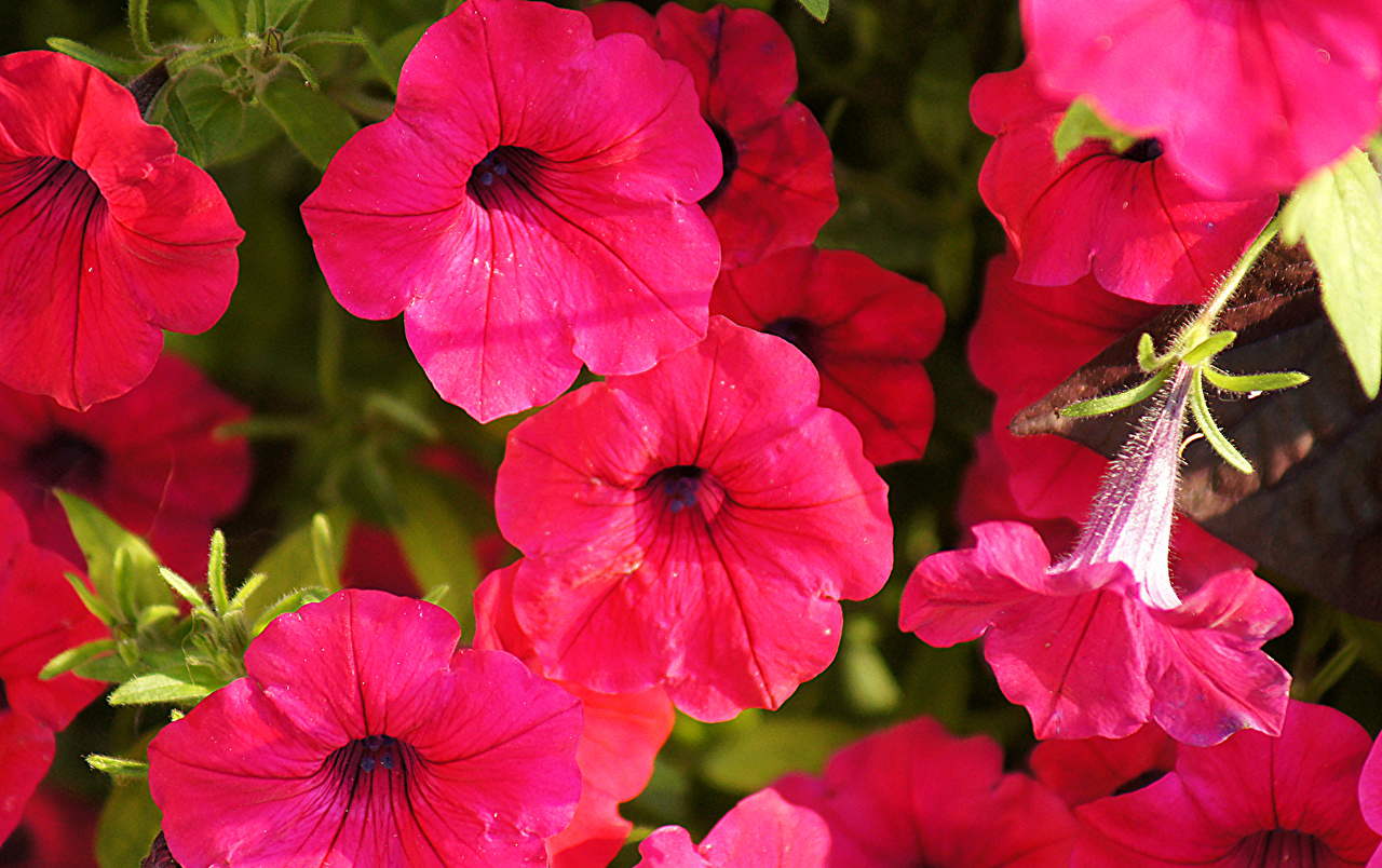 Image Pink color Petunia Flowers Closeup flower