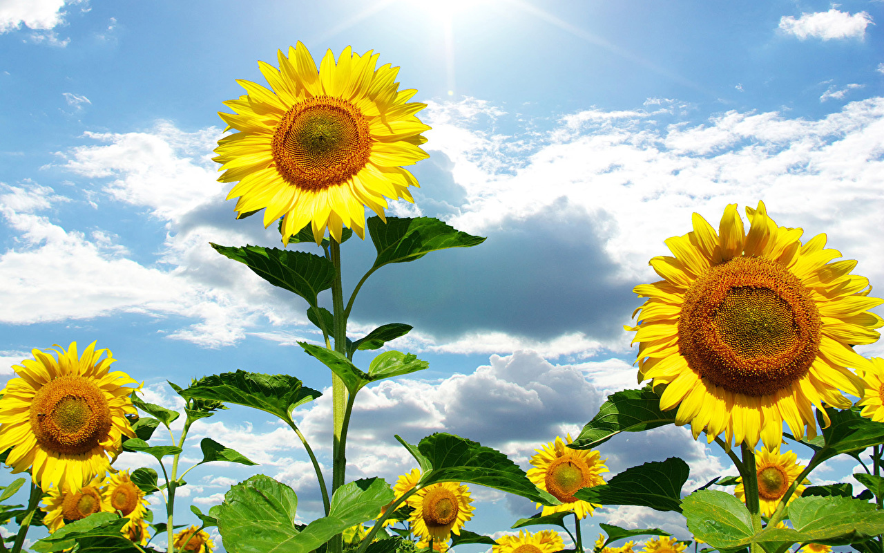 Image Sky flower Helianthus Clouds Flowers Sunflowers