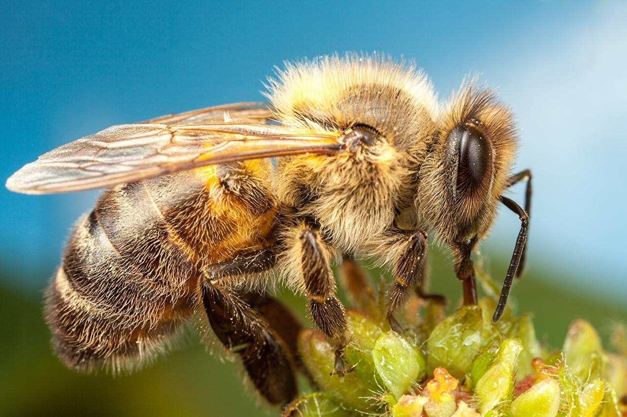 ,蜜蜂,特寫,微距攝影,,動物,