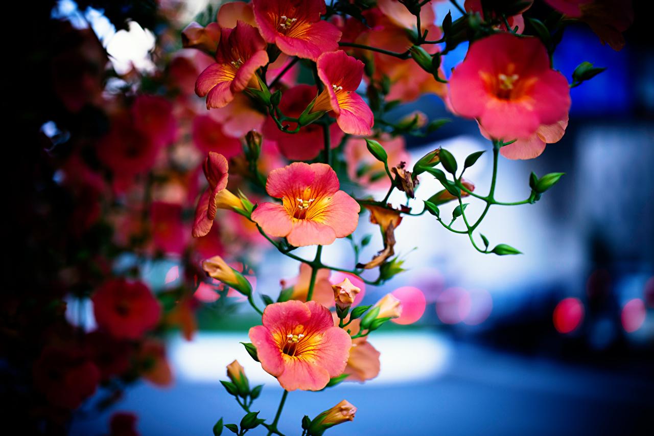 Campsis En gros plan Bourgeon fleur Fleurs