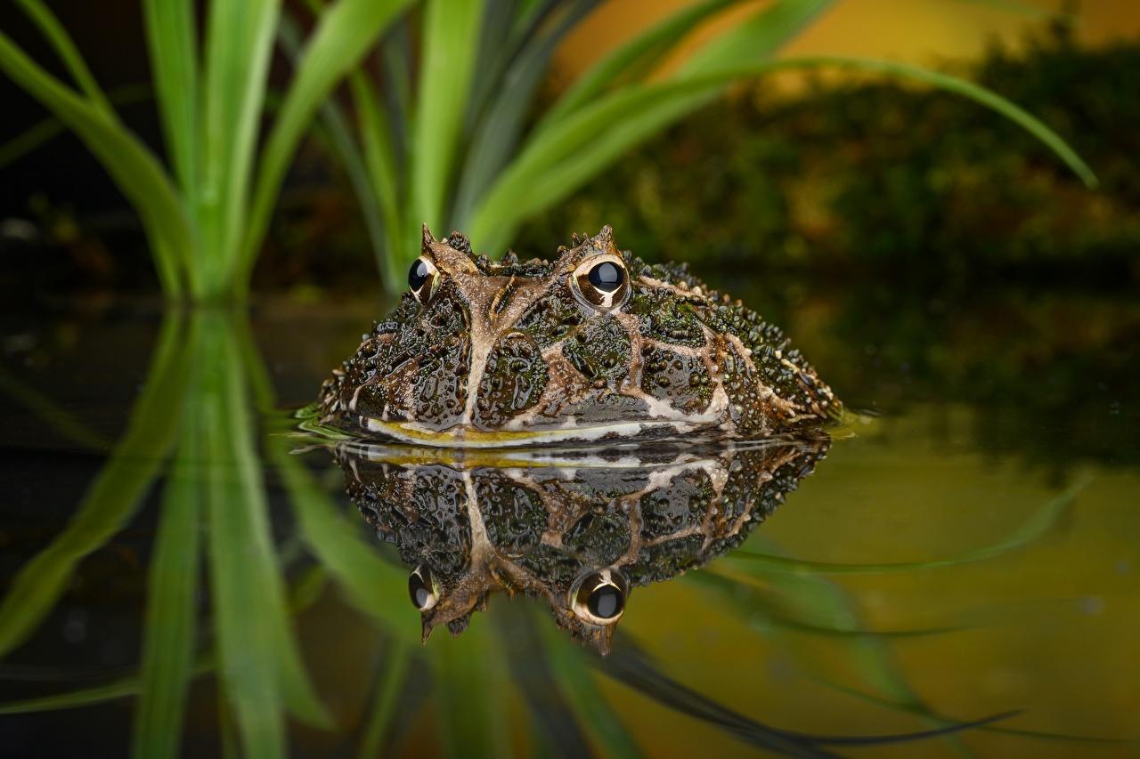壁紙 水 カエル South American Horned Frogs 倒影 動物