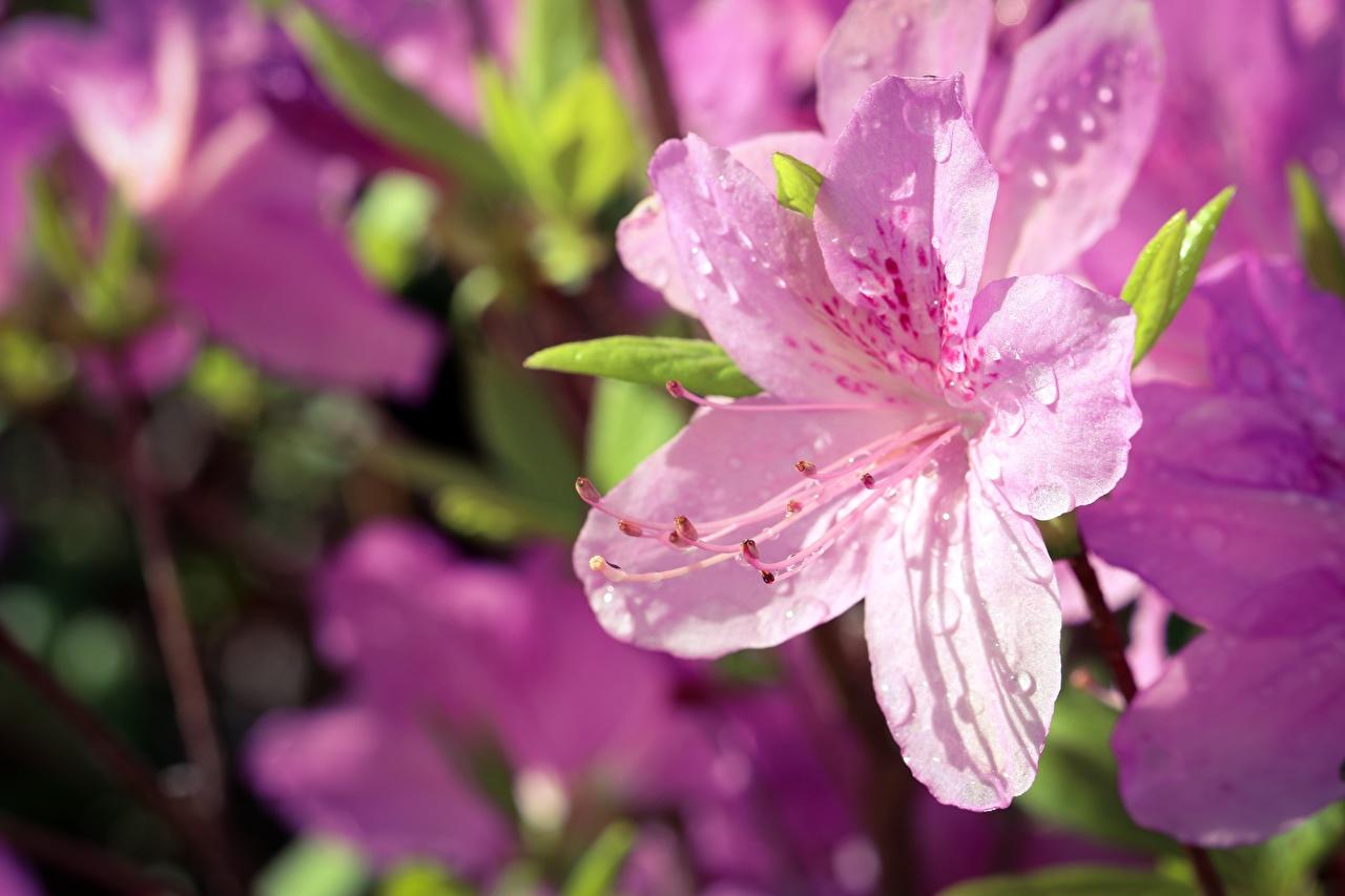 Desktop Hintergrundbilder unscharfer Hintergrund Rosa Farbe Blumen Tropfen Rhododendren Bokeh Blüte