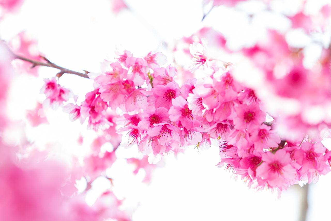 Desktop Wallpapers Sakura Pink color flower Branches Closeup Flowering trees Cherry blossom Flowers