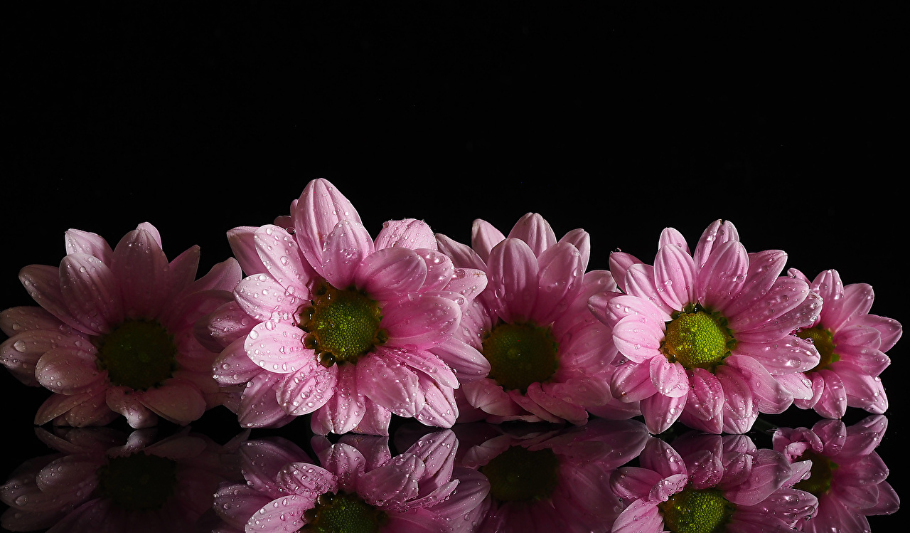 Photo Pink color Drops Flowers reflected Chrysanthemums Black background Mums flower Chrysanths Reflection