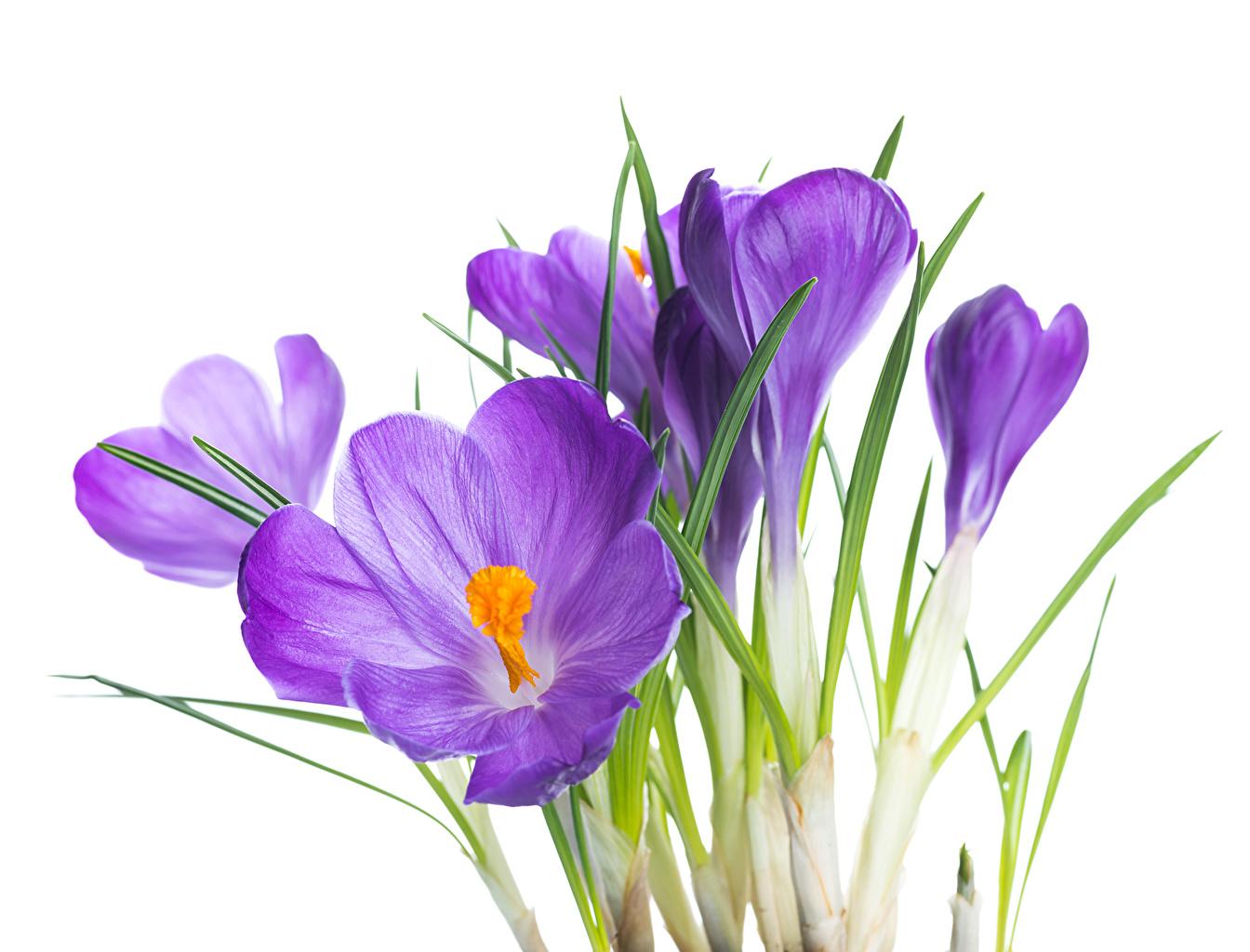 Wallpaper Violet flower Crocuses Closeup Flowers