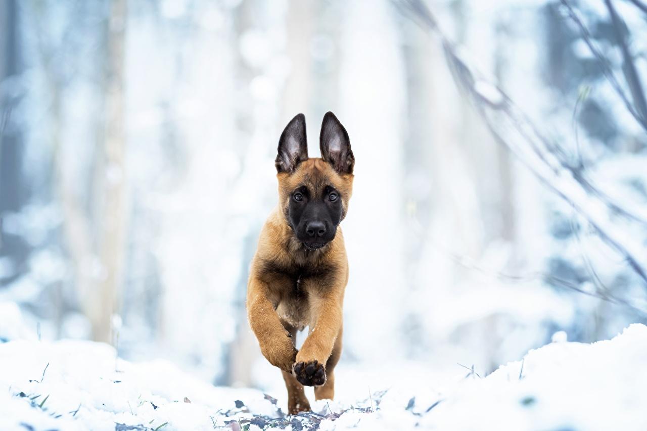 Fotos Welpe Shepherd Hunde Lauf Malinois Tiere welpen Laufen Laufsport