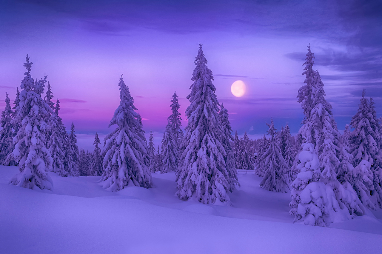 Sfondi Winter Dream Picea Natura Inverno Violetto Neve Alberi Abete colore viola