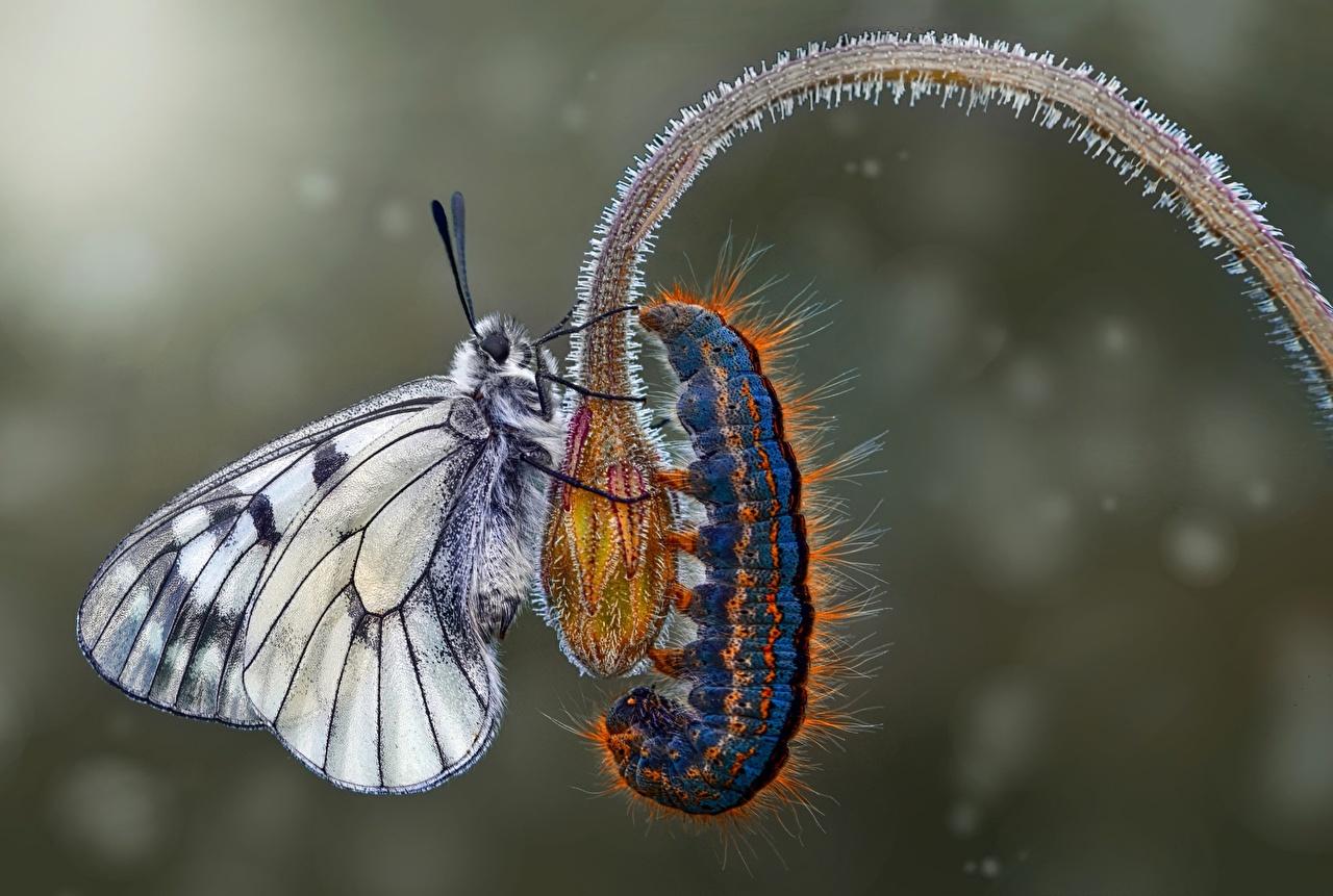 Photos butterfly Caterpillars Closeup Animals Butterflies animal