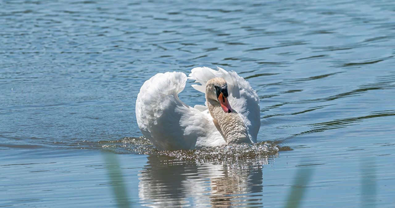 Image swan Birds swimming White Water Animals bird Swans swim Swims animal