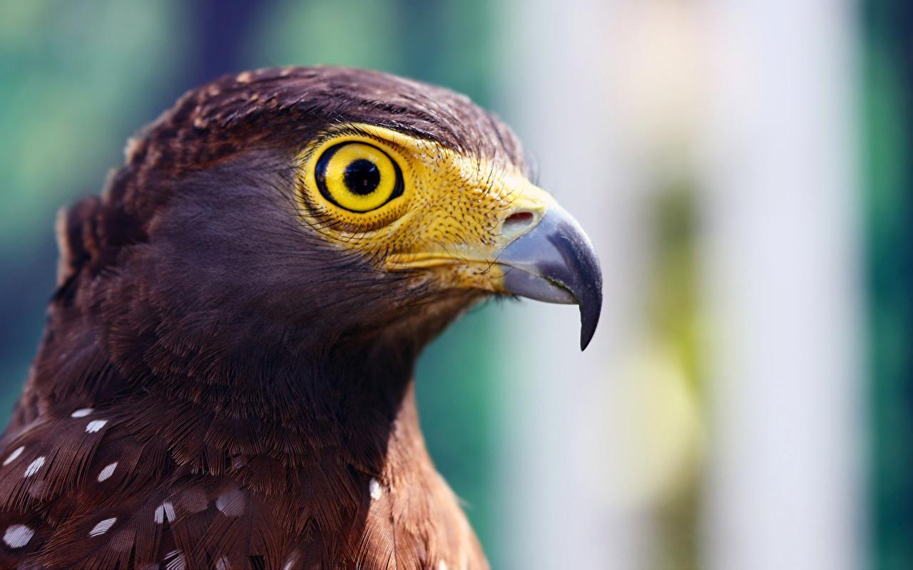 Pictures bird eagle Beak Head Animals Birds Eagles animal