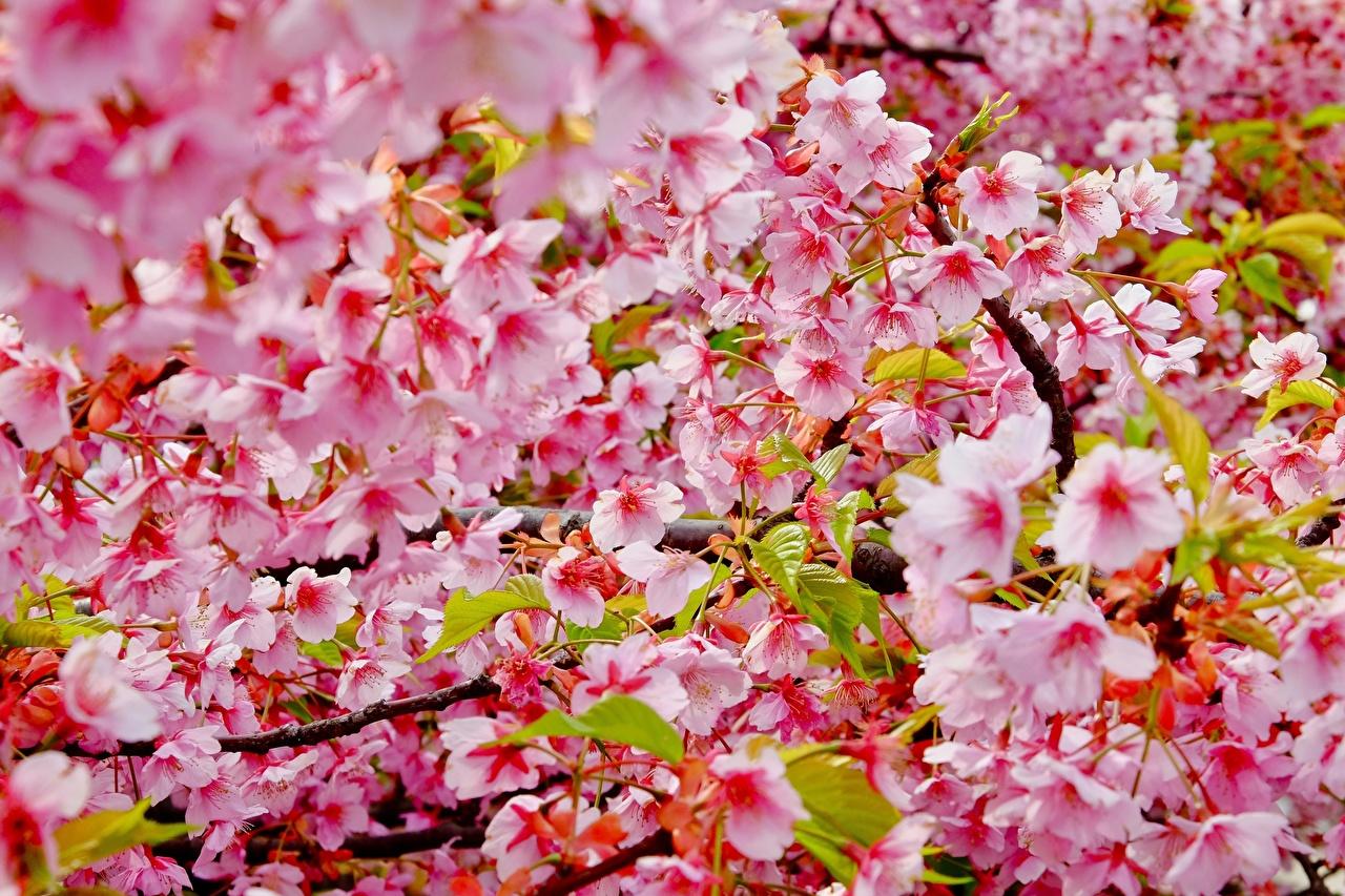 Photos Sakura flower Branches Closeup Flowering trees Cherry blossom Flowers