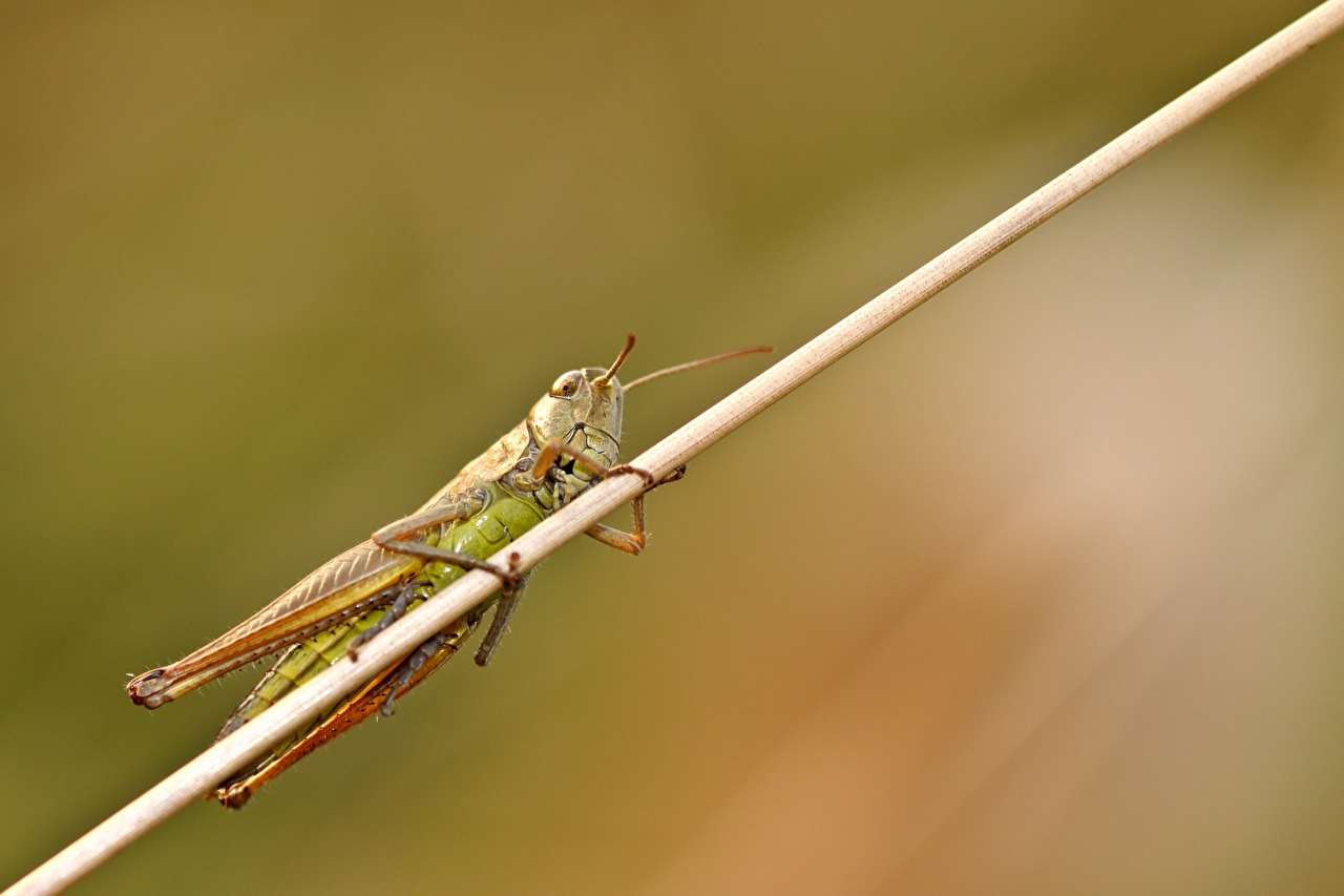 Photo Insects Grasshoppers blurred background Closeup Animals Bokeh animal