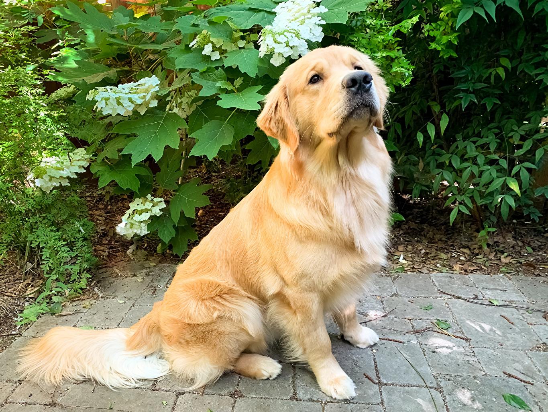 Foto Golden Retriever hund Tiere Blick Hunde Starren ein Tier