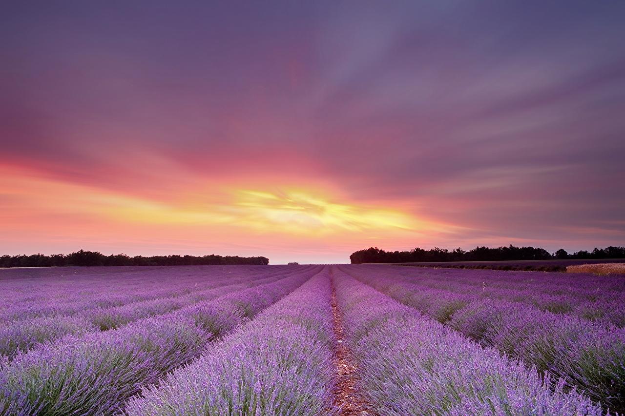Image Sky Fields Flowers lavender Clouds flower Lavandula