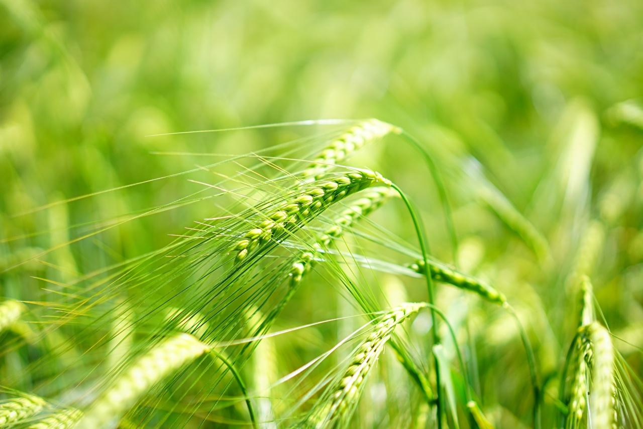 Image Bokeh Nature Macro Ear botany Closeup blurred background spike spikes Macro photography