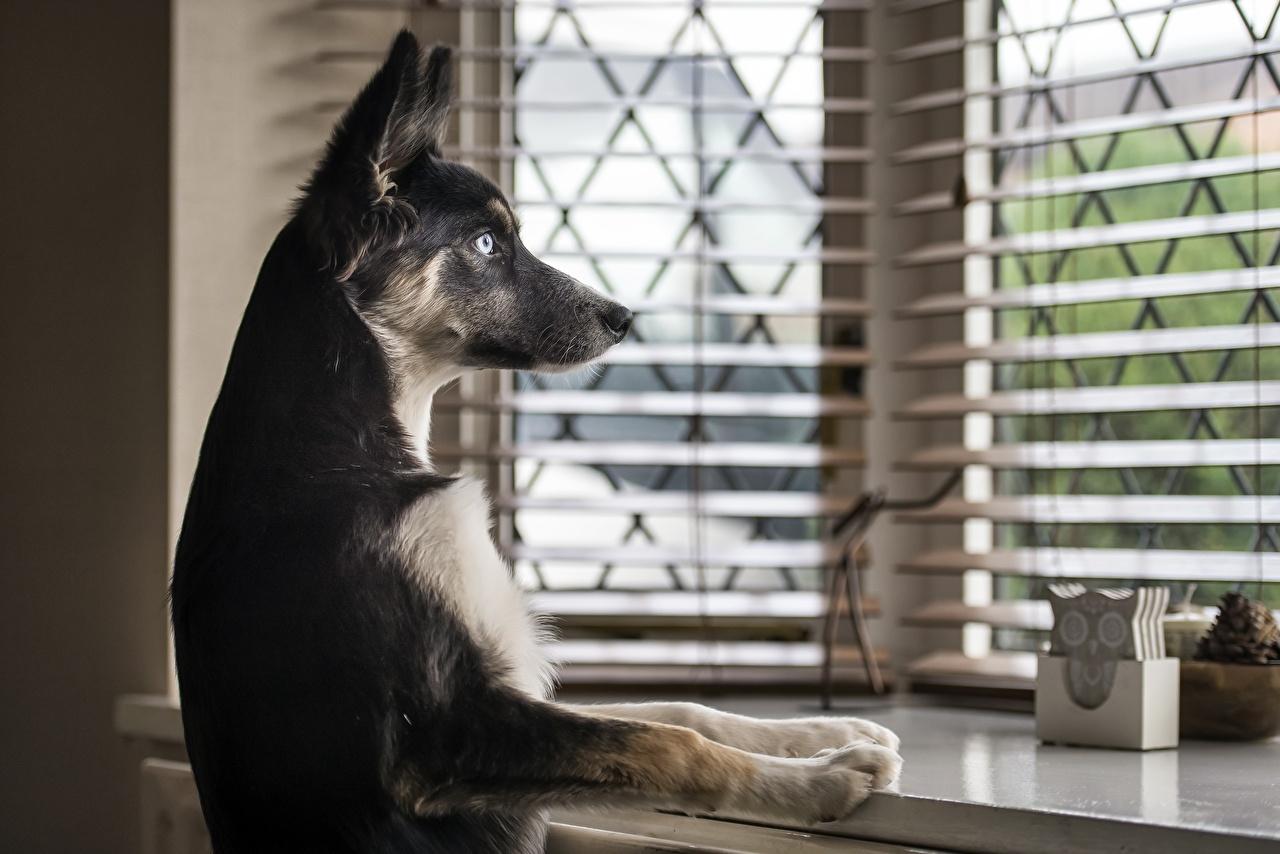 Fotos Hunde Pfote Fenster Tiere Starren Blick