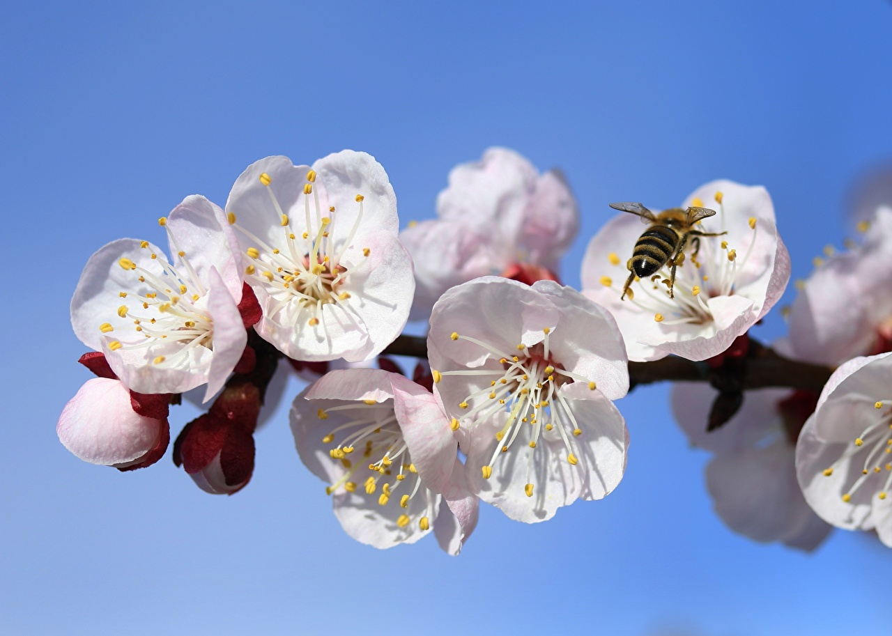 Photos Bees Insects Spring Apricot Flowers Branches flower
