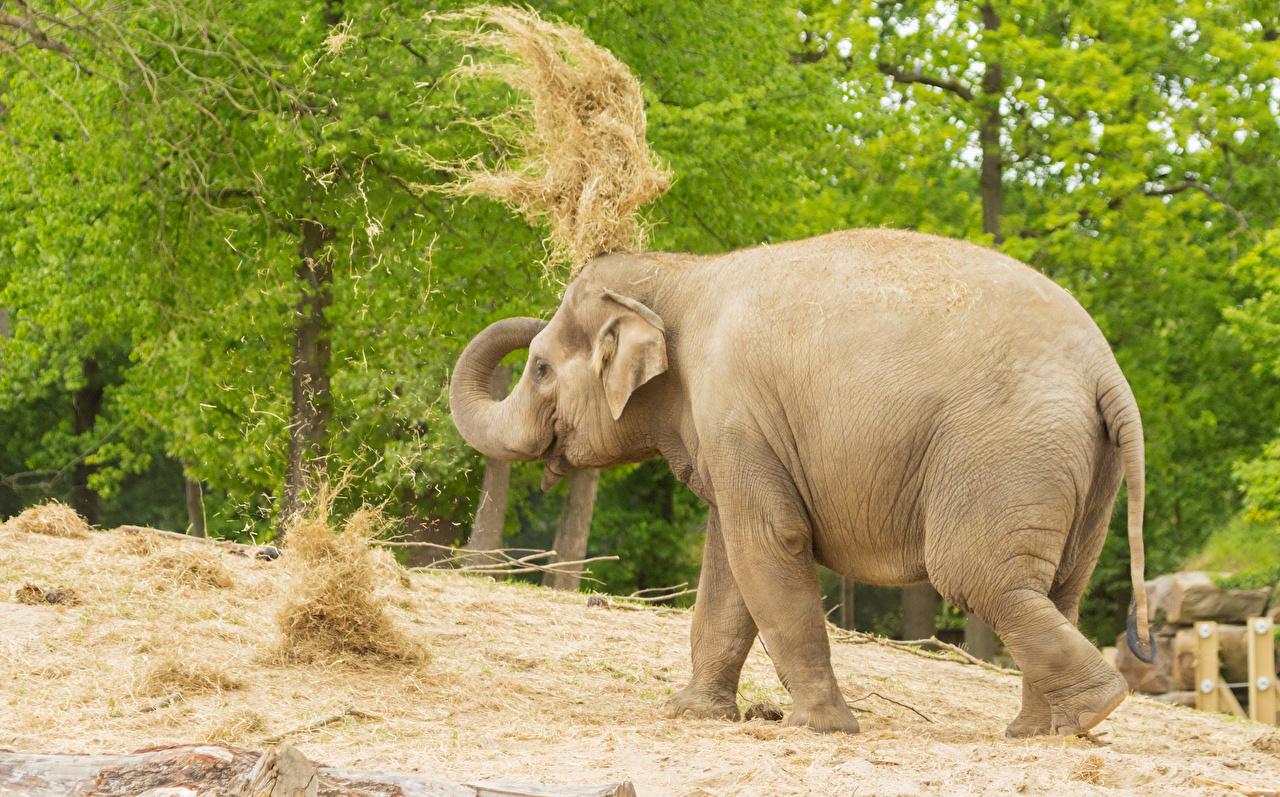 Pictures Elephants Hay Animals elephant animal