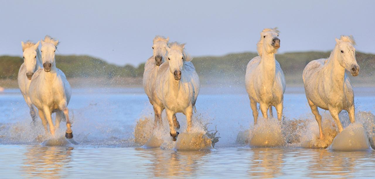 Bilder von Hauspferd Lauf Weiß Wasser Tiere Pferde Laufen Laufsport