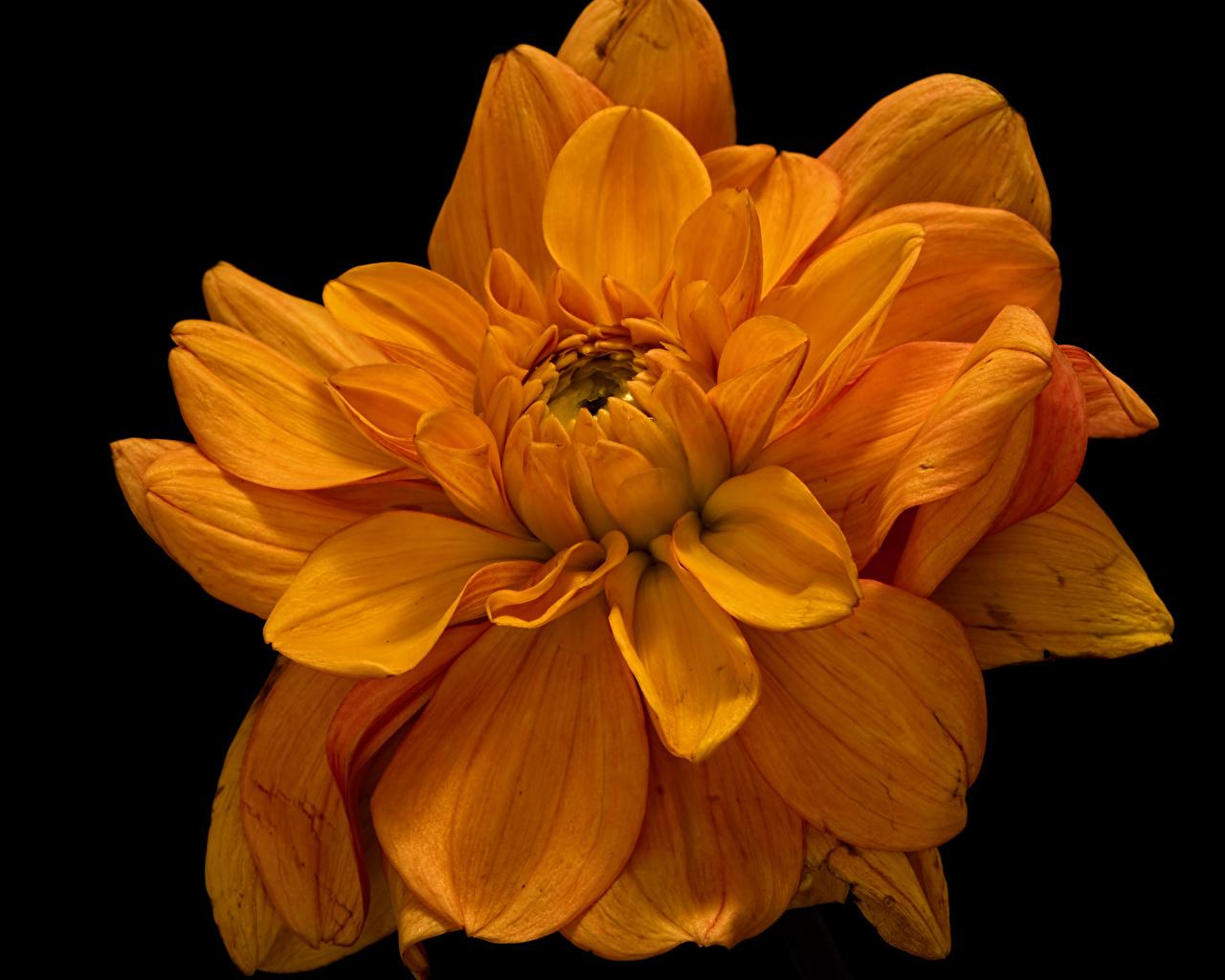 Achtergronden bureaublad Oranje bloem chrysanthemum van dichtbij Zwarte achtergrond Bloemen Chrysanten Close-up