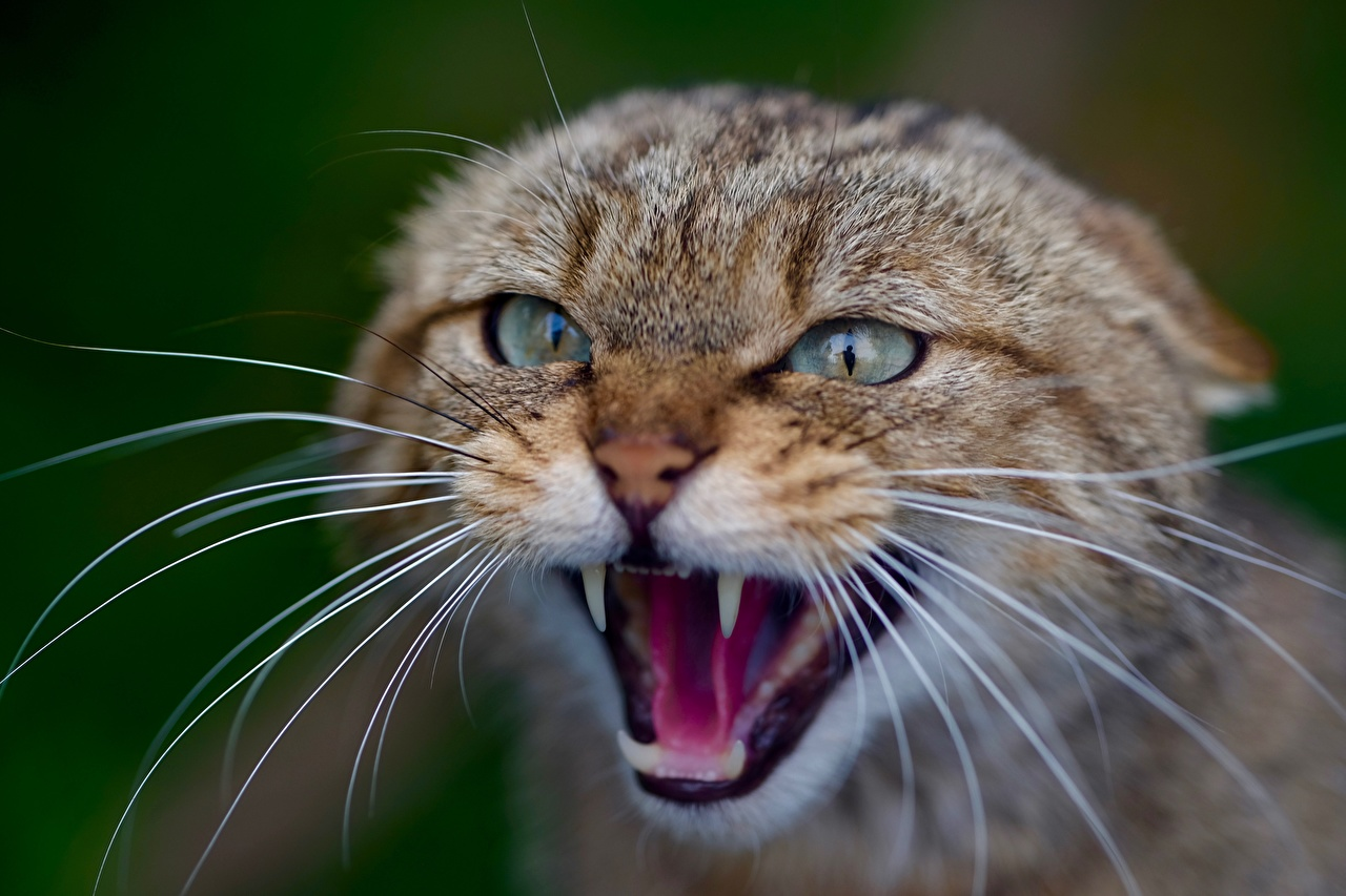 Photos Cats Bokeh Roar Whiskers Head Glance Closeup Animals cat blurred background angry animal Staring