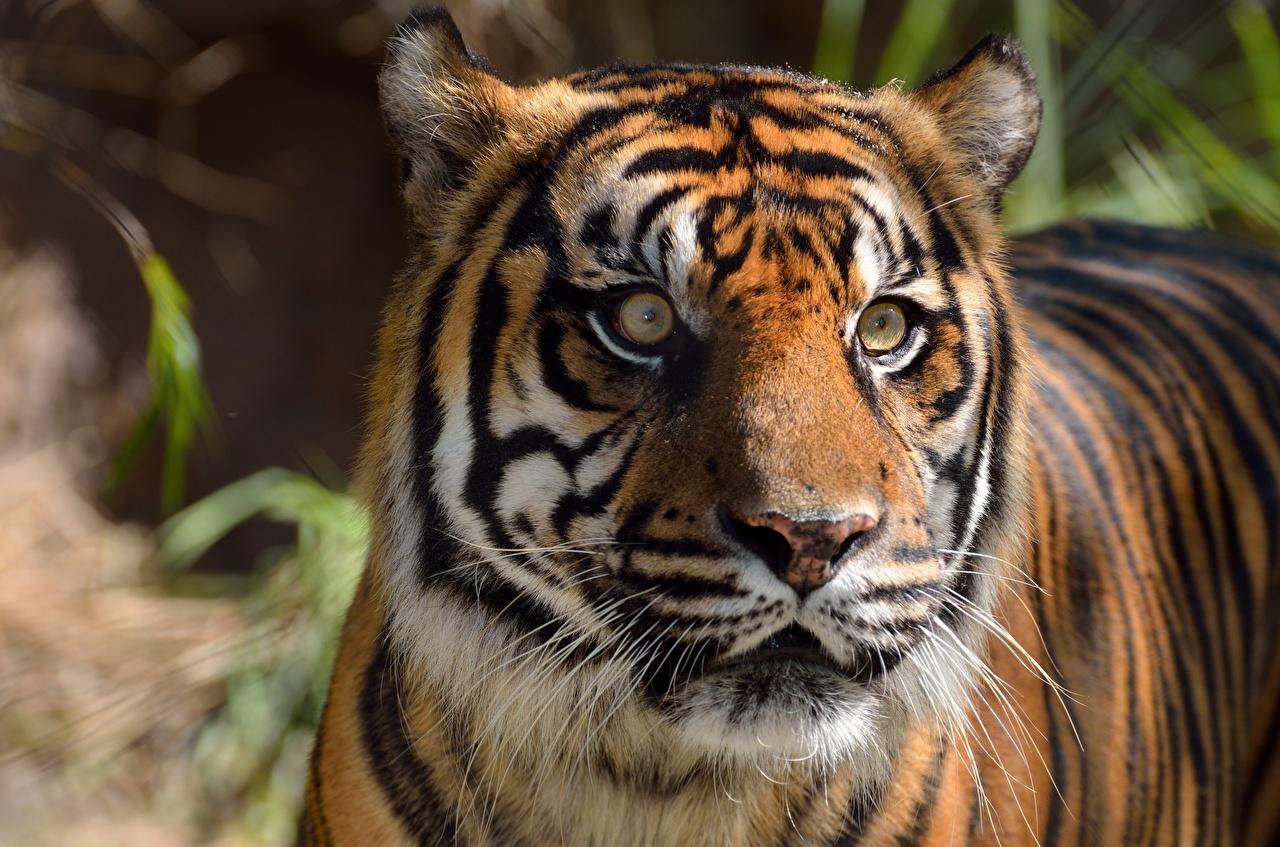 Fotos Tiger Kopf Tiere Starren hautnah Blick ein Tier Nahaufnahme Großansicht