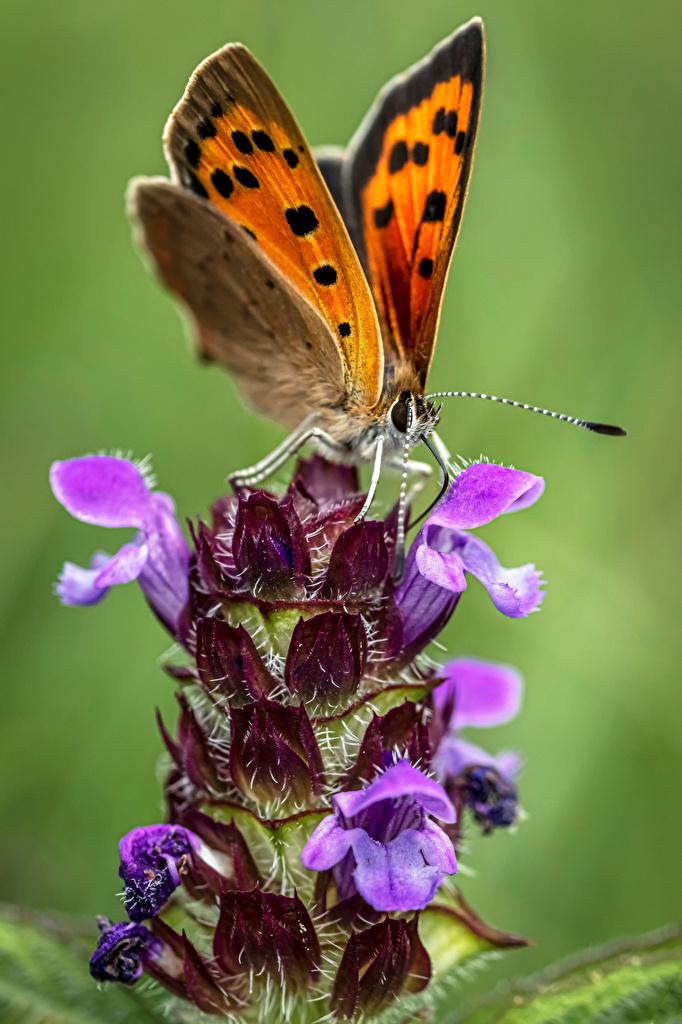 Papilionoidea Insectes En gros plan small copper un animal, papillons Animaux pour Téléphone mobile