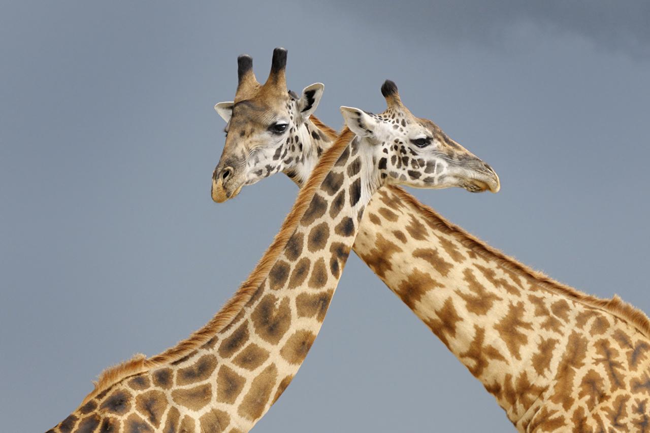 Picture giraffe Two Animals Gray background Giraffes 2 animal