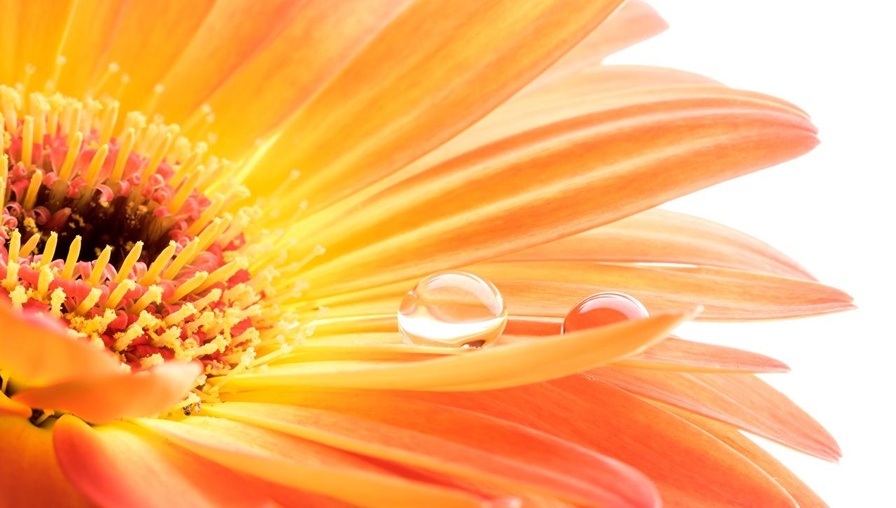 Photo Orange gerbera Macro Drops flower Closeup Gerberas Flowers Macro photography