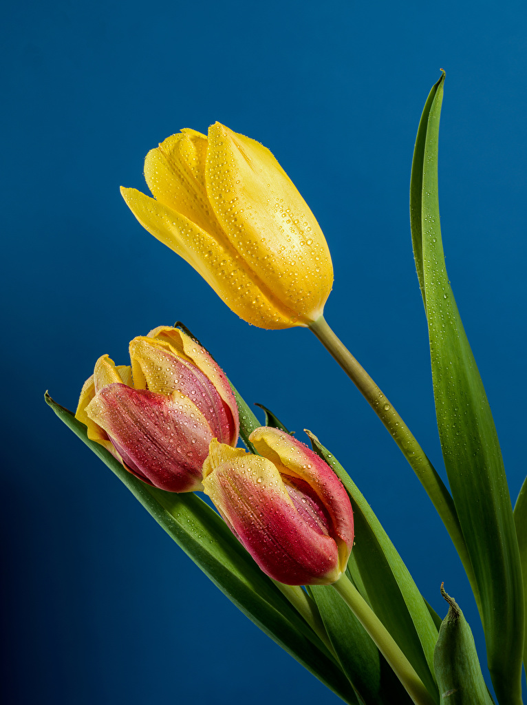 Images Tulips Drops Flowers Three 3 Closeup Colored background  for Mobile phone tulip flower