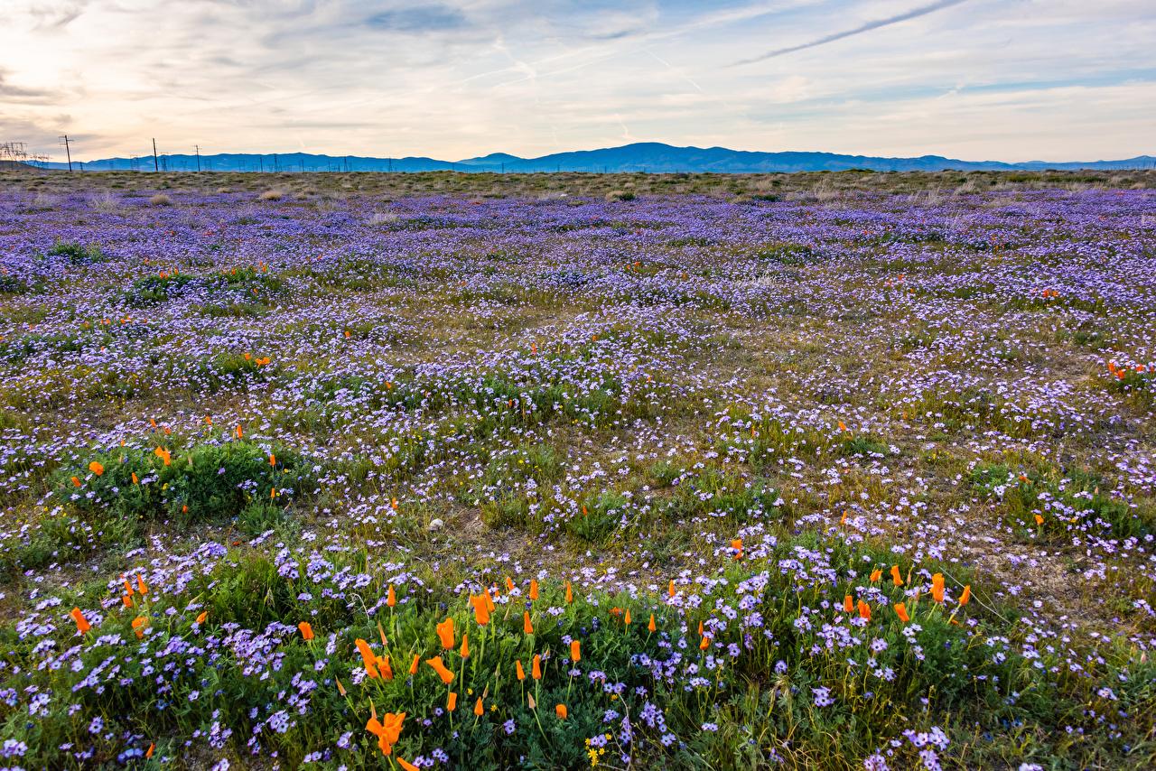 Immagine California stati uniti Gilia tricolor Natura Il prato Papaveri Campo agricolo USA papaver