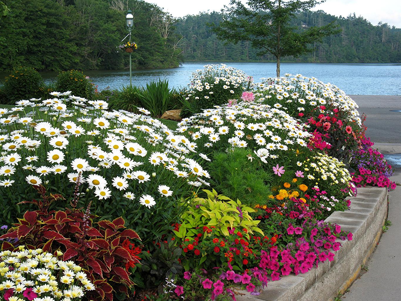 Bilder Blüte Zinnien Petunien Kamillen Buntnesseln Strauch Blumen