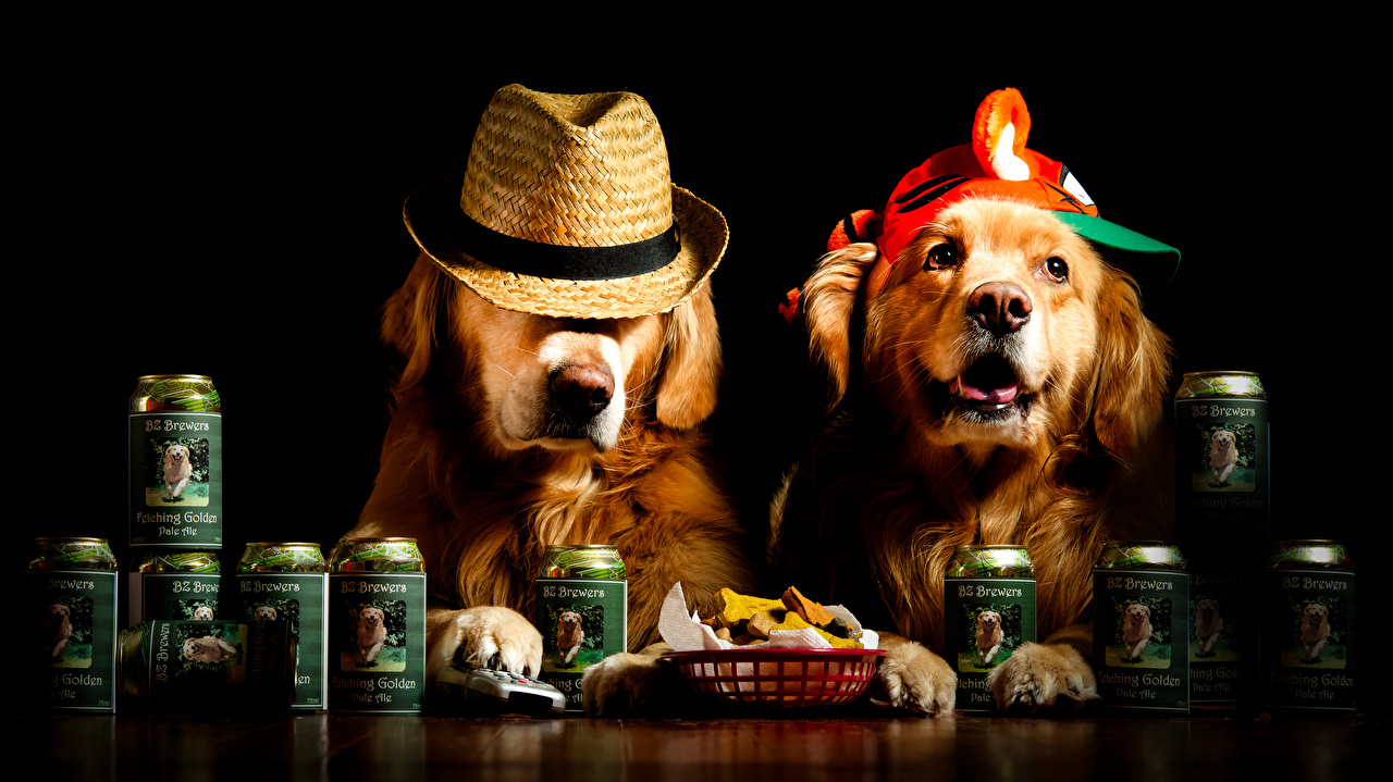 Pictures Retriever dog Funny Two Hat Animals Black background Dogs 2 animal