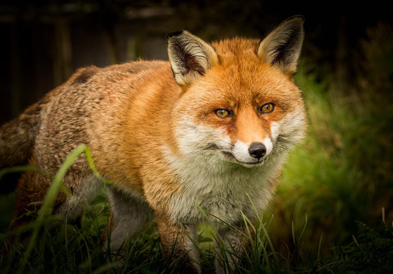 Foton en räv ingefära färg Djur ansikte Djur Blick vulpes Rävar Röd orange ser