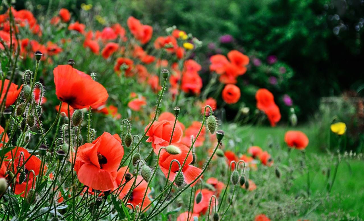 Wallpaper blurred background flower Poppies Flower-bud Bokeh papaver Flowers