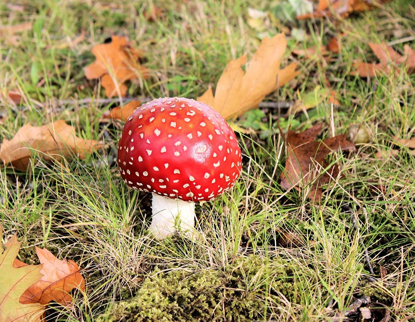 Foto Rot Natur Wulstlinge Gras Pilze Natur