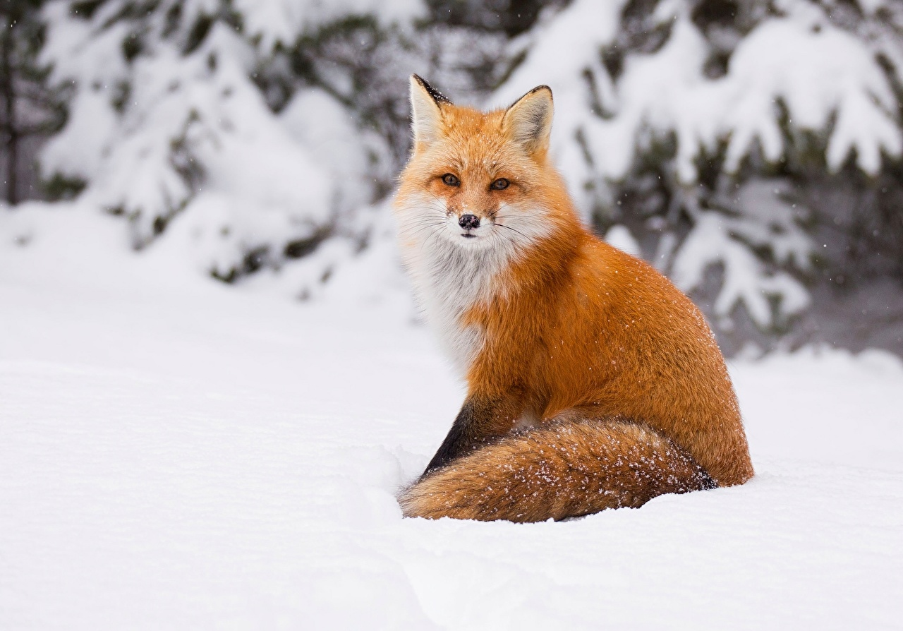 Photos Foxes Winter Snow Animals