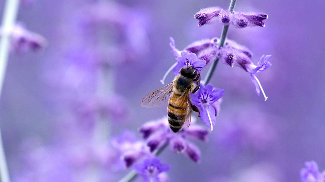 Bilder von Bienen Insekten Bokeh Lavendel Tiere Großansicht unscharfer Hintergrund hautnah ein Tier Nahaufnahme