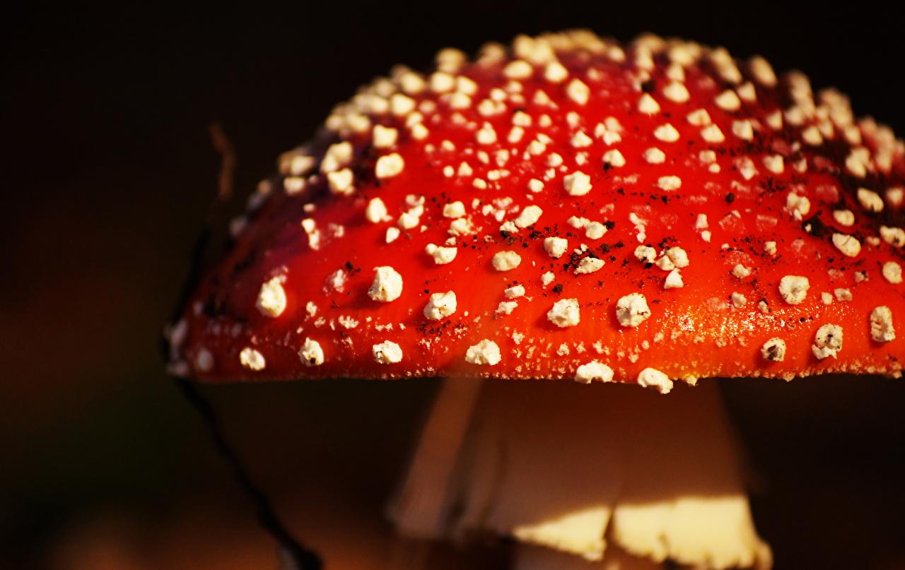 Pictures Amanita Macro Mushrooms Closeup Macro photography