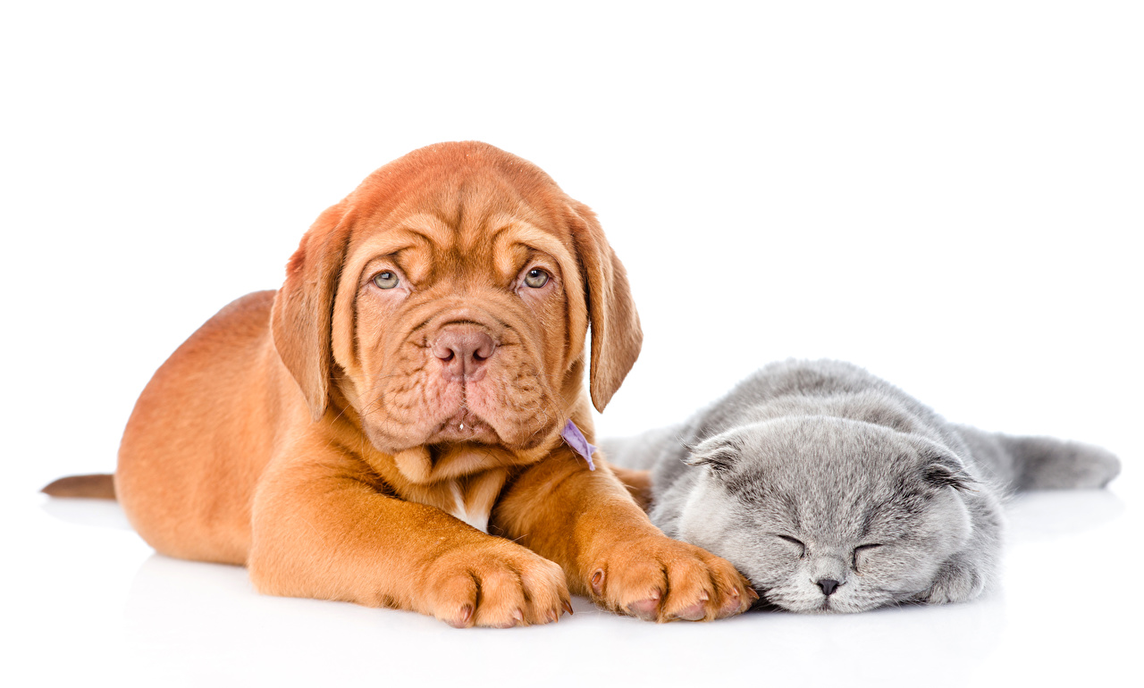 Wallpaper Puppy kitty cat Dogue de Bordeaux dog Cats 2 sleeping Animals White background puppies Kittens cat Dogs Two Sleep animal