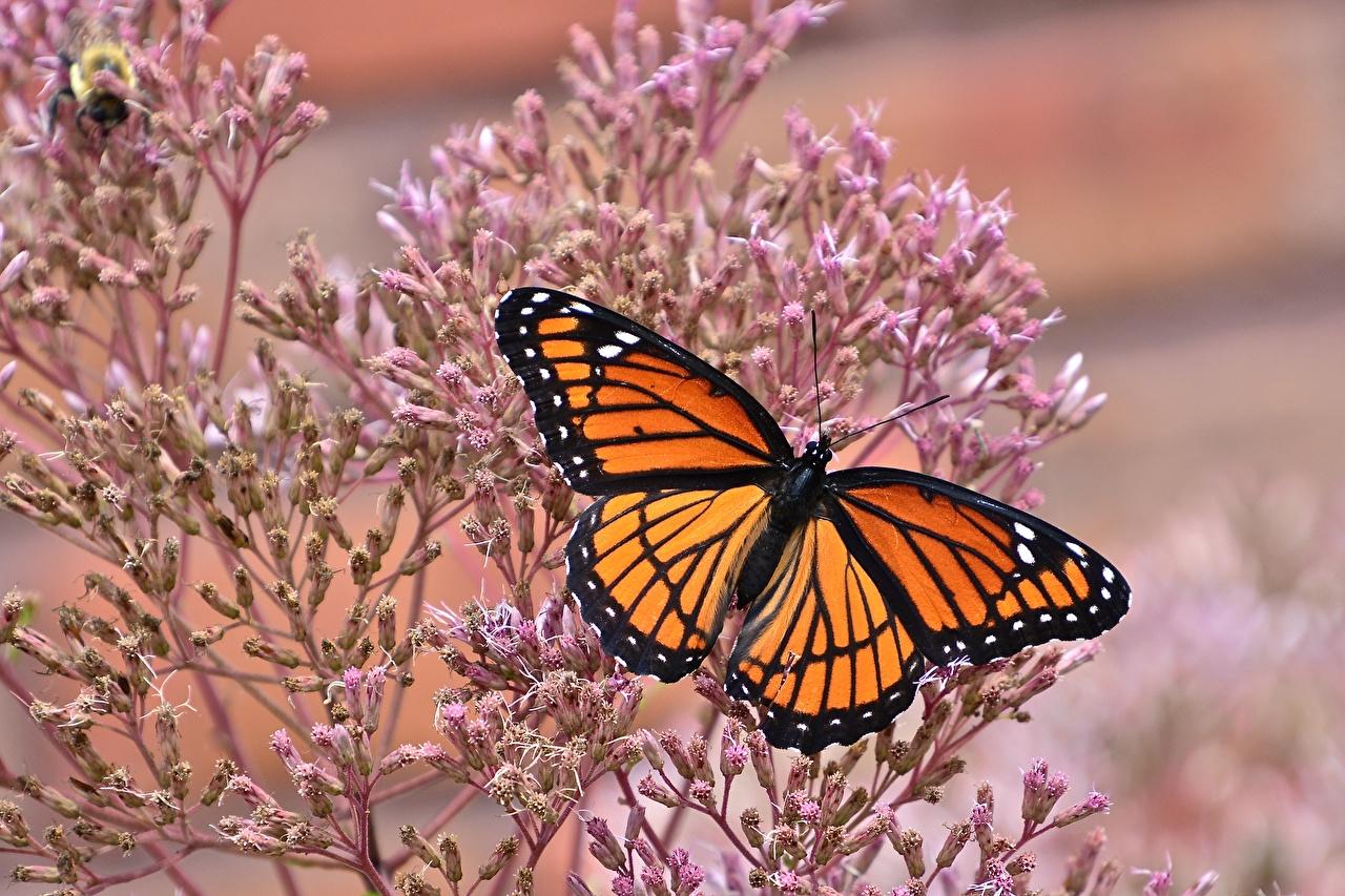 Hintergrundbilder Monarchfalter Schmetterlinge Tiere Großansicht
