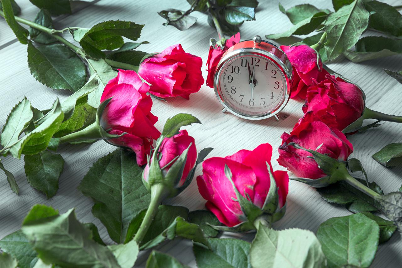 Rosas Relógio Vermelho flor, rosa Flores