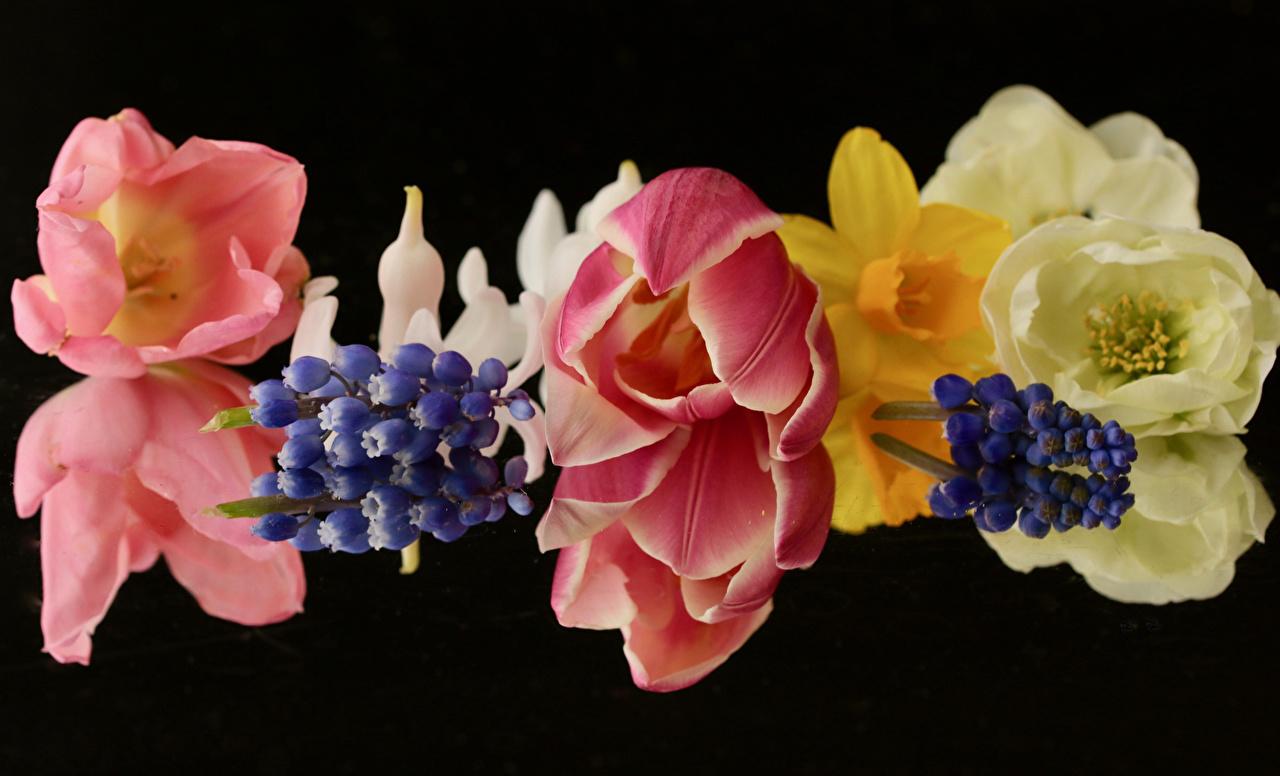 Fotos von Tulpen Blüte Hyazinthen hautnah Schwarzer Hintergrund Blumen Nahaufnahme Großansicht