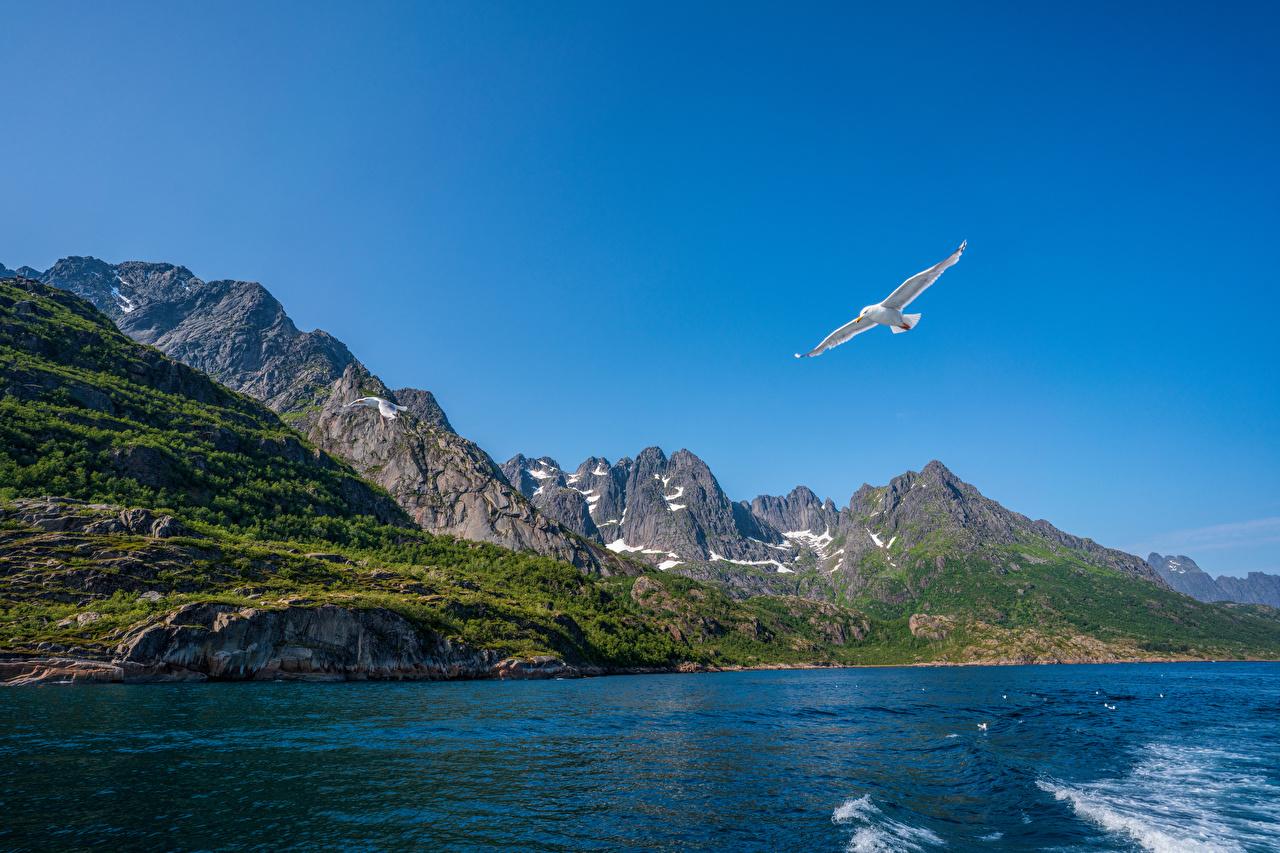 Norvège Îles Lofoten Montagnes Oiseau Mouettes oiseaux, montagne, larinae, mouette Nature